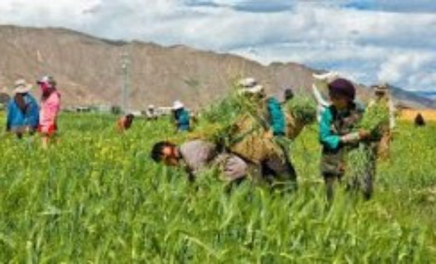 Tibetan farmers' land forcefully grabbed by Chinese authorities near Lhasa