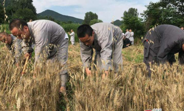 Shaolin Monks and Foreign Disciples Harvest Wheat as Part of Chan Training at Shaolin Temple